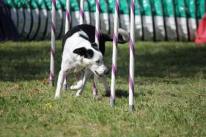 A dog weaving through agility training poles