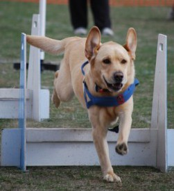 Dog Obedience Training Geelong